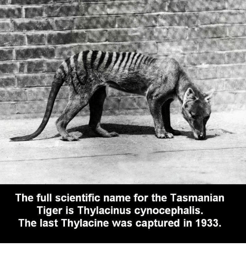 tasmanian tiger: The full scientific name for the Tasmanian  Tiger is Thylacinus cynocephalis.  The last Thylacine was captured in 1933.