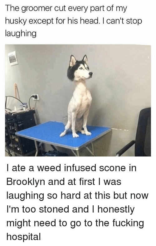Fucking, Head, and Memes: The groomer cut every part of my  husky except for his head. I can't stop  laughing I ate a weed infused scone in Brooklyn and at first I was laughing so hard at this but now I'm too stoned and I honestly might need to go to the fucking hospital