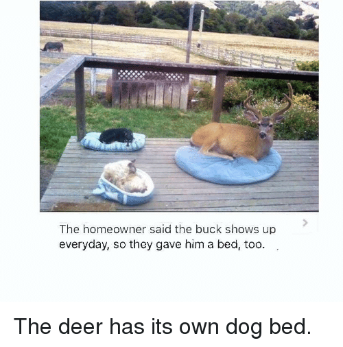 dog bed: The homeowner said the buck shows up  everyday, so they gave him a bed, too. The deer has its own dog bed.