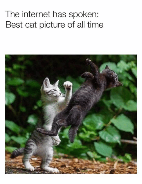 Best Cat: The internet has spoken:  Best cat picture of all time