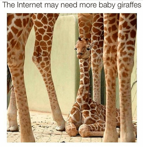 baby giraffe: The Internet may need more baby giraffes