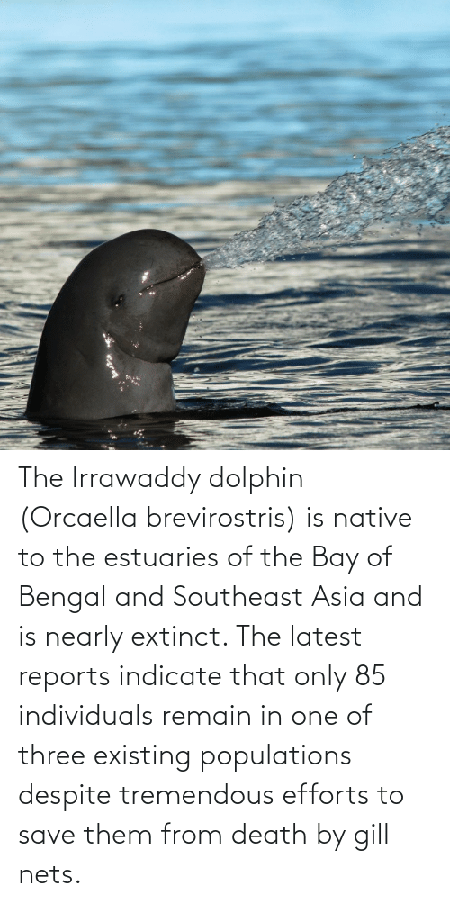 Nets: The Irrawaddy dolphin (Orcaella brevirostris) is native to the estuaries of the Bay of Bengal and Southeast Asia and is nearly extinct. The latest reports indicate that only 85 individuals remain in one of three existing populations despite tremendous efforts to save them from death by gill nets.