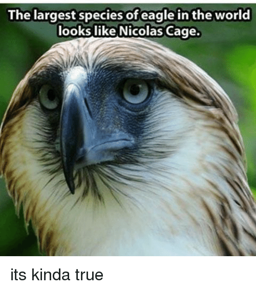 Nicola Cage: The largest species of eagle in the world  looks like Nicolas Cage. its kinda true