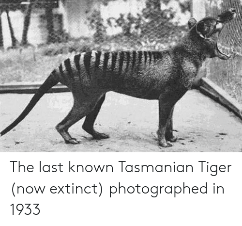 tasmanian tiger: The last known Tasmanian Tiger (now extinct) photographed in 1933