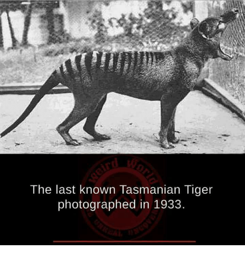 tasmanian tiger: The last known Tasmanian Tiger  photographed in 1933.
