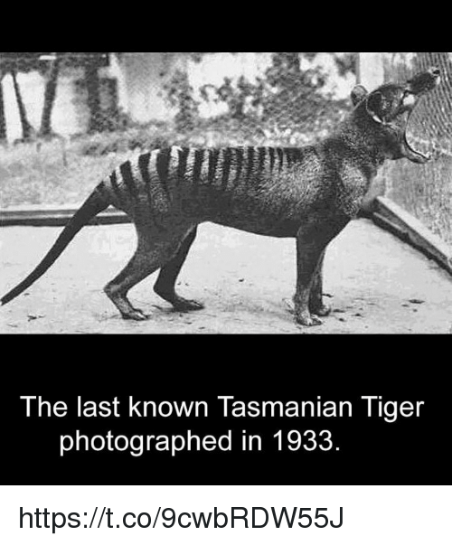 tasmanian tiger: The last known Tasmanian Tiger  photographed in 1933 https://t.co/9cwbRDW55J