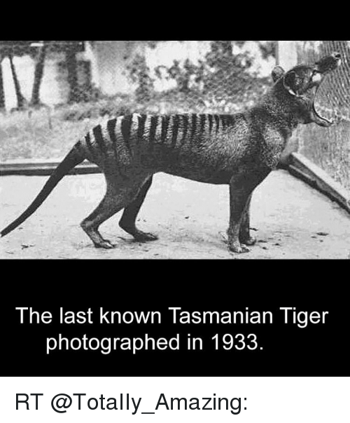 tasmanian tiger: The last known Tasmanian Tiger  photographed in 1933 RT @TotaIIy_Amazing: