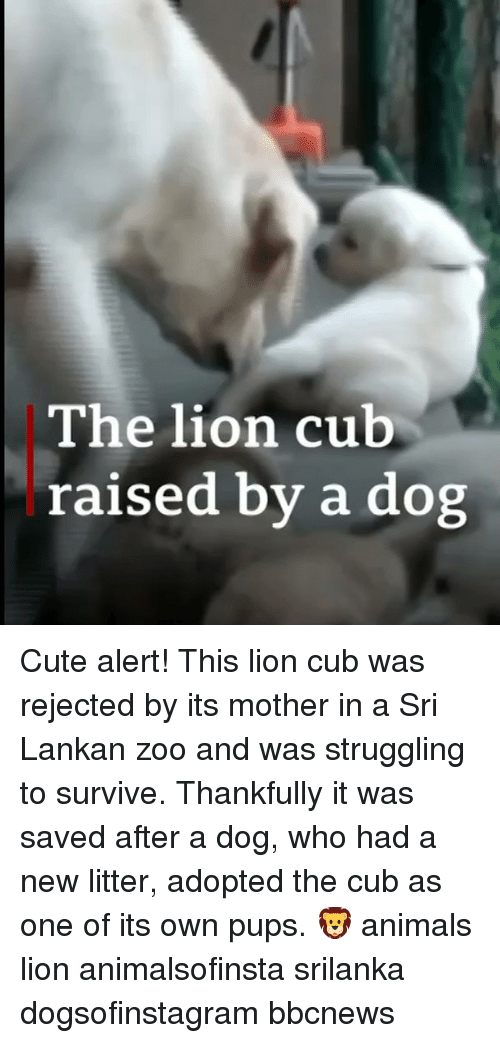 srilanka: The lion cub  raised by a dog Cute alert! This lion cub was rejected by its mother in a Sri Lankan zoo and was struggling to survive. Thankfully it was saved after a dog, who had a new litter, adopted the cub as one of its own pups. 🦁 animals lion animalsofinsta srilanka dogsofinstagram bbcnews