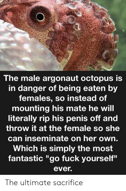 """Octopus: The male argonaut octopus is  in danger of being eaten by  females, so instead of  mounting his mate he will  literally rip his penis off and  throw it at the female so she  can inseminate on her own.  Which is simply the most  fantastic """"go fuck yourself""""  ever. The ultimate sacrifice"""