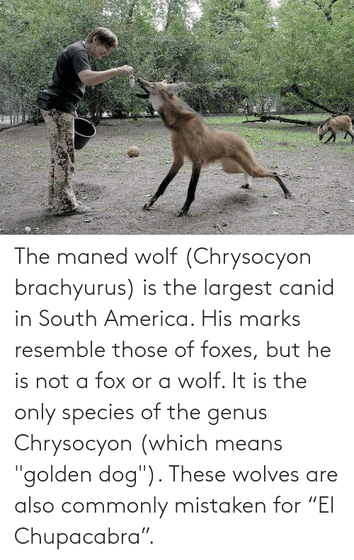 """chupacabra: The maned wolf (Chrysocyon brachyurus) is the largest canid in South America. His marks resemble those of foxes, but he is not a fox or a wolf. It is the only species of the genus Chrysocyon (which means """"golden dog""""). These wolves are also commonly mistaken for """"El Chupacabra""""."""