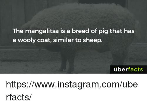 Memes, 🤖, and Pig: The mangalitsa is a breed of pig that has  a wooly coat, similar to sheep.  uber  facts https://www.instagram.com/uberfacts/