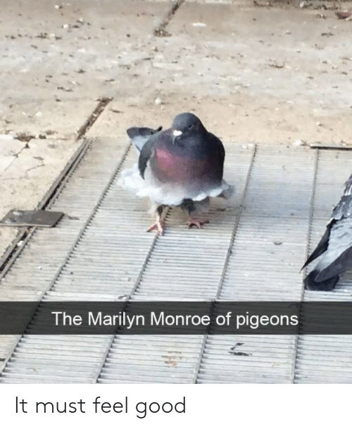Good, Marilyn Monroe, and Monroe: The Marilyn Monroe of pigeons It must feel good