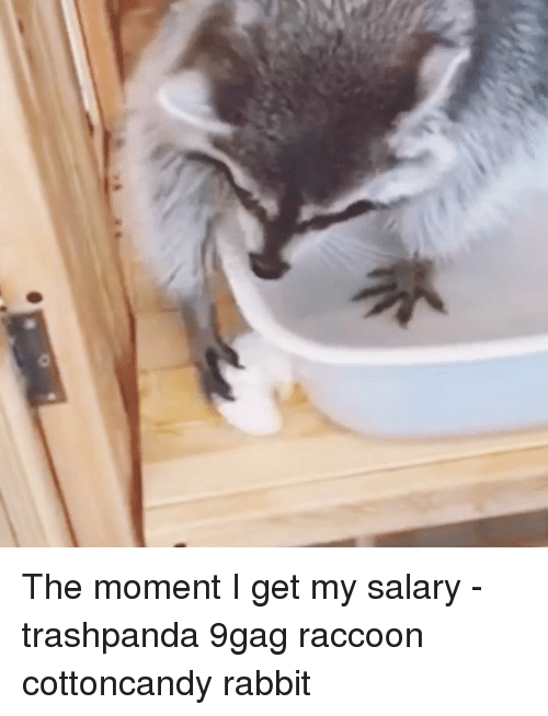 9gag, Memes, and Rabbit: The moment I get my salary - trashpanda 9gag raccoon cottoncandy rabbit