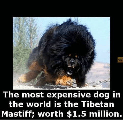 The Most Expensive Dog in the World Is the Tibetan Mastiff ...