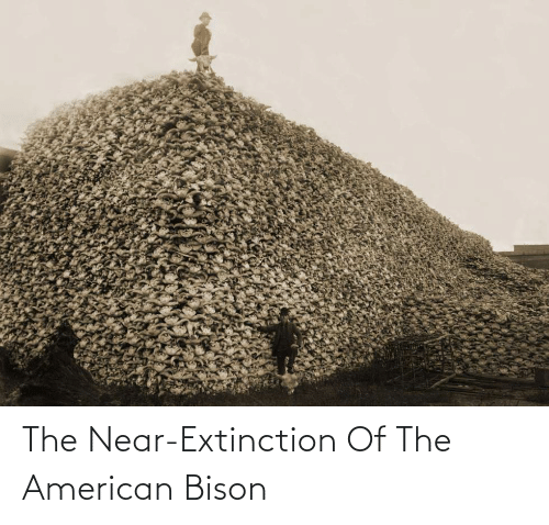 bison: The Near-Extinction Of The American Bison