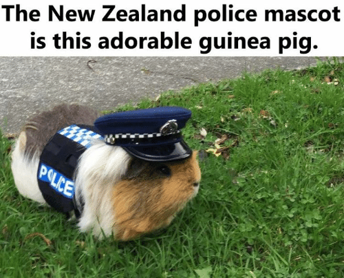 guinea: The New Zealand police mascot  is this adorable guinea pig.  POLICE
