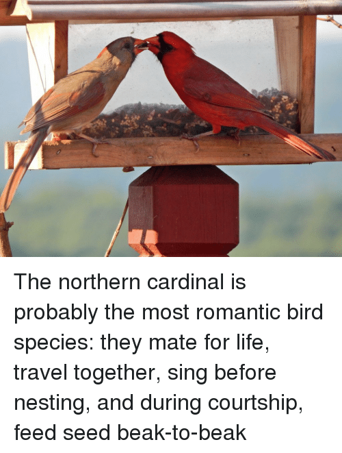 nesting: The northern cardinal is probably the most romantic bird species: they mate for life, travel together, sing before nesting, and during courtship, feed seed beak-to-beak
