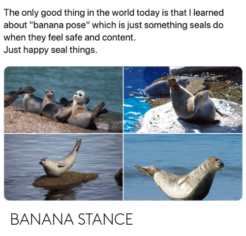 """seals: The only good thing in the world today is that I learned  about """"banana pose"""" which is just something seals do  when they feel safe and content.  Just happy seal things. BANANA STANCE"""