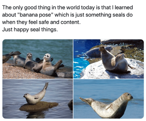 """seals: The only good thing in the world today is that I learned  about """"banana pose"""" which is just something seals do  when they feel safe and content.  Just happy seal things."""