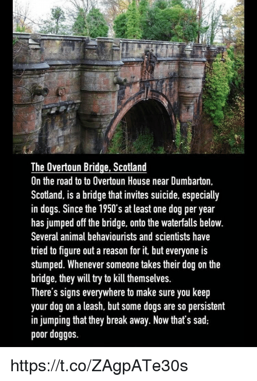 Dogs, Memes, and Animal: The Overtoun Bridge, Scotland  On the road to to Overtoun House near Dumbarton,  Scotland, is a bridge that invites suicide, especially  in dogs. Since the 1950's at least one dog per year  has jumped off the bridge, onto the waterfalls belovw  Several animal behaviourists and scientists have  tried to figure out a reason for it, but everyone is  stumped. Whenever someone takes their dog on the  br  idge, they will try to kill themselves.  There s signs everywhere to make sure you keep  your dog on a leash, but some dogs are so persistent  in jumping that they break away. Now that's sad  poor doggos. https://t.co/ZAgpATe30s