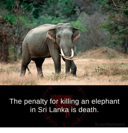 🤖: The penalty for killing an elephant  in Sri Lanka is death.  fb.com/facts weird