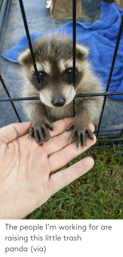 Trash Panda: The people I'm working for are raising this little trash panda (via)