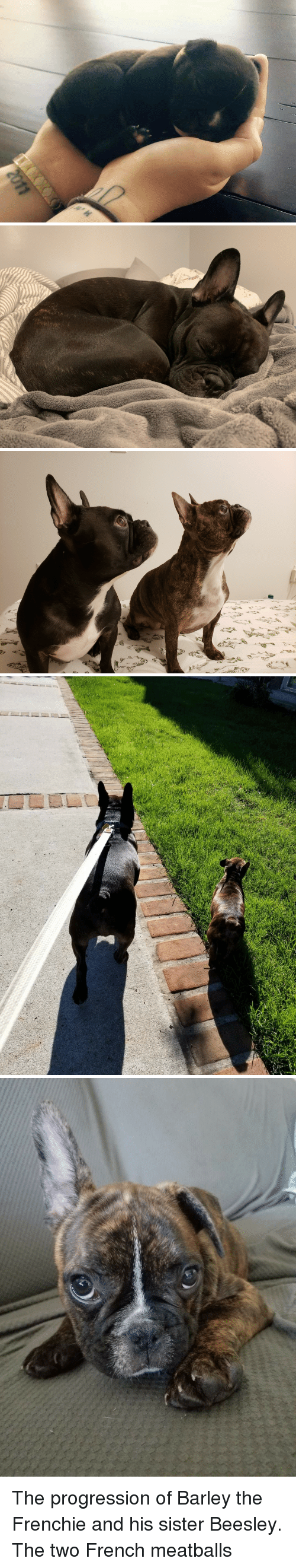 Frenchie: The progression of Barley the Frenchie and his sister Beesley. The two French meatballs