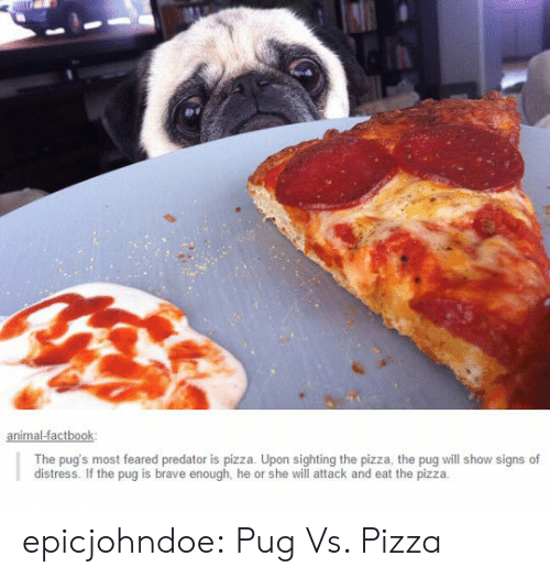 Pugs: The pug's most feared predator is pizza. Upon sighting the pizza, the pug will show signs of  distress. If the pug is brave enough, he or she will attack and eat the pizzia epicjohndoe:  Pug Vs. Pizza