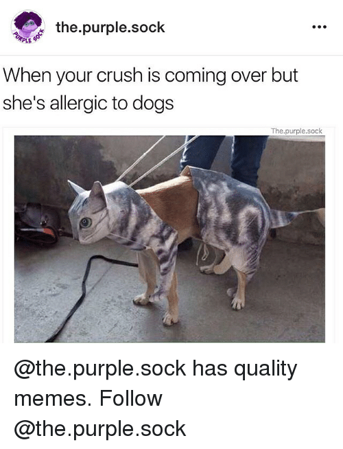 Quality Memes: the purple sock  PLE  When your crush is coming over but  she's allergic to dogs  The purple.sock @the.purple.sock has quality memes. Follow @the.purple.sock