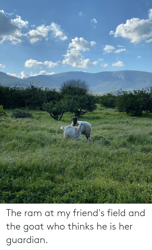Guardian: The ram at my friend's field and the goat who thinks he is her guardian.