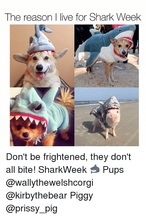 Pigly: The reason I live for Shark Week Don't be frightened, they don't all bite! SharkWeek 🦈 Pups @wallythewelshcorgi @kirbythebear Piggy @prissy_pig