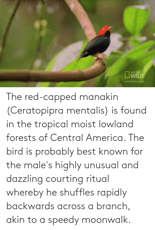 Moist: The red-capped manakin (Ceratopipra mentalis) is found in the tropical moist lowland forests of Central America. The bird is probably best known for the male's highly unusual and dazzling courting ritual whereby he shuffles rapidly backwards across a branch, akin to a speedy moonwalk.