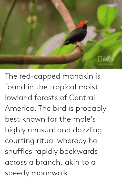 Moist: The red-capped manakin is found in the tropical moist lowland forests of Central America. The bird is probably best known for the male's highly unusual and dazzling courting ritual whereby he shuffles rapidly backwards across a branch, akin to a speedy moonwalk.
