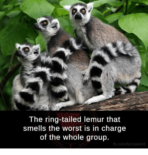Memes, The Worst, and The Ring: The ring-tailed lemur that  Smells the Worst is in charge  of the Whole group.  fb.com/factsweird