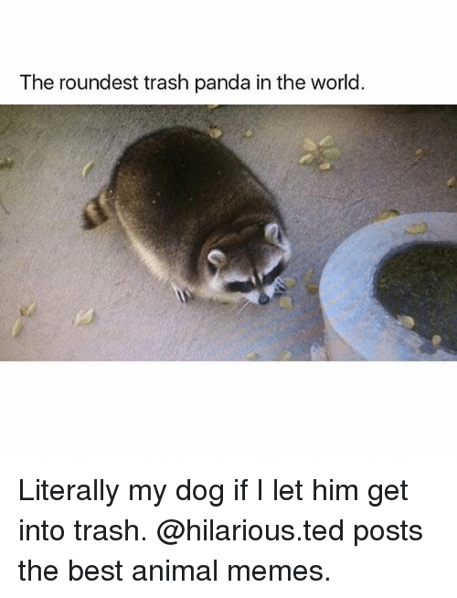 dogging: The roundest trash panda in the world. Literally my dog if I let him get into trash. @hilarious.ted posts the best animal memes.