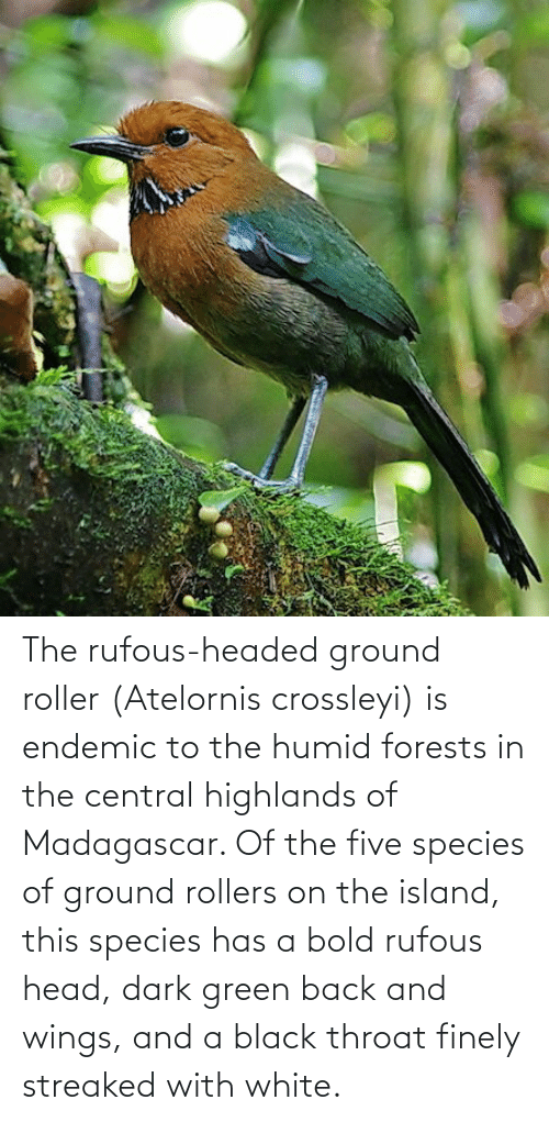 Rollers: The rufous-headed ground roller (Atelornis crossleyi) is endemic to the humid forests in the central highlands of Madagascar. Of the five species of ground rollers on the island, this species has a bold rufous head, dark green back and wings, and a black throat finely streaked with white.