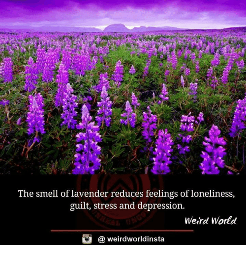 Memes, Smell, and Weird: The smell of lavender reduces feelings of loneliness,  guilt, stress and depression.  Weird World  @ weirdworldinsta