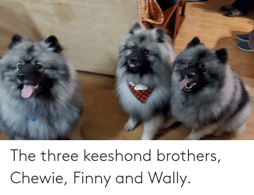 Finny: The three keeshond brothers, Chewie, Finny and Wally.