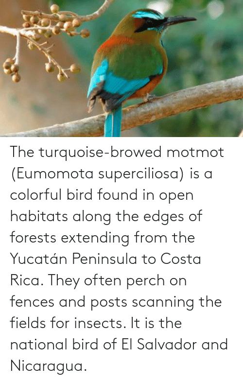 edges: The turquoise-browed motmot (Eumomota superciliosa) is a colorful bird found in open habitats along the edges of forests extending from the Yucatán Peninsula to Costa Rica. They often perch on fences and posts scanning the fields for insects. It is the national bird of El Salvador and Nicaragua.