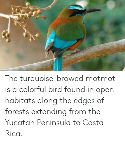 edges: The turquoise-browed motmot is a colorful bird found in open habitats along the edges of forests extending from the Yucatán Peninsula to Costa Rica.
