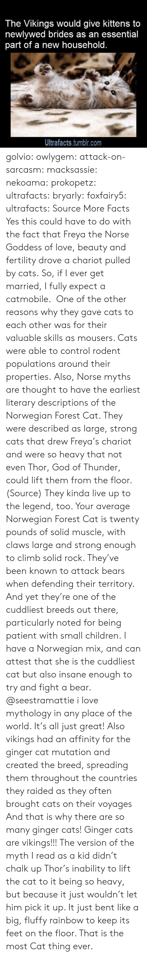norwegian forest cat: The Vikings would give kittens to  newlywed brides as an essential  part of a new household.  Ultrafacts.tumblr.com golvio: owlygem:  attack-on-sarcasm:  macksassie:  nekoama:  prokopetz:  ultrafacts:  bryarly:  foxfairy5:  ultrafacts:  SourceMore Facts   Yes this could have to do with the fact that Freya the Norse Goddess of love, beauty and fertility drove a chariot pulled by cats.  So, if I ever get married, I fully expect a catmobile.   One of the other reasons why they gave cats to each other was for their valuable skills as mousers. Cats were able to control rodent populations around their properties. Also, Norse myths are thought to have the earliest literary descriptions of the Norwegian Forest Cat. They were described as large, strong cats that drew Freya's chariot and were so heavy that not even Thor, God of Thunder, could lift them from the floor. (Source)  They kinda live up to the legend, too. Your average Norwegian Forest Cat is twenty pounds of solid muscle, with claws large and strong enough to climb solid rock. They've been known to attack bears when defending their territory. And yet they're one of the cuddliest breeds out there, particularly noted for being patient with small children.  I have a Norwegian mix, and can attest that she is the cuddliest cat but also insane enough to try and fight a bear.   @seestramattie  i love mythology in any place of the world. It's all just great!  Also vikings had an affinity for the ginger cat mutation and created the breed, spreading them throughout the countries they raided as they often brought cats on their voyages And that is why there are so many ginger cats! Ginger cats are vikings!!!  The version of the myth I read as a kid didn't chalk up Thor's inability to lift the cat to it being so heavy, but because it just wouldn't let him pick it up. It just bent like a big, fluffy rainbow to keep its feet on the floor. That is the most Cat thing ever.