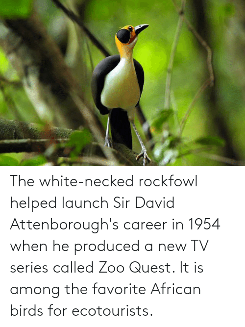 New Tv: The white-necked rockfowl helped launch Sir David Attenborough's career in 1954 when he produced a new TV series called Zoo Quest. It is among the favorite African birds for ecotourists.
