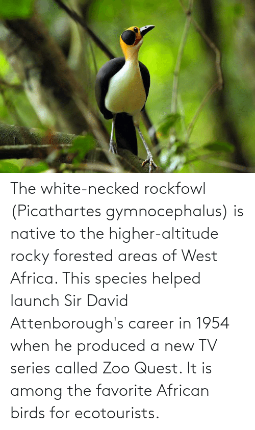 New Tv: The white-necked rockfowl (Picathartes gymnocephalus) is native to the higher-altitude rocky forested areas of West Africa. This species helped launch Sir David Attenborough's career in 1954 when he produced a new TV series called Zoo Quest. It is among the favorite African birds for ecotourists.