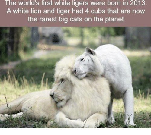 ligers: The world's first white ligers were born in 2013.  A white lion and tiger had 4 cubs that are now  the rarest big cats on the planet