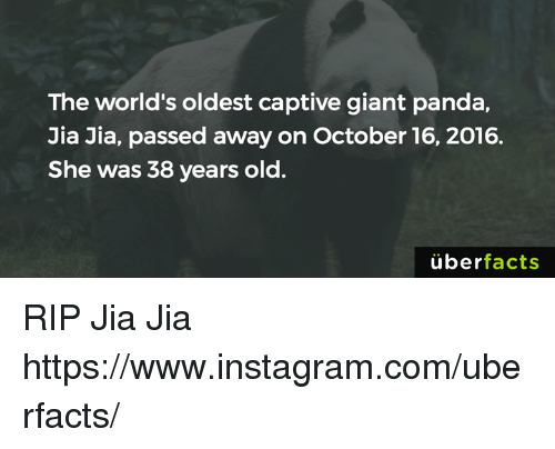 jia: The world's oldest captive giant panda,  Jia Jia, passed away on October 16, 2016.  She was 38 years old.  uber  facts RIP Jia Jia https://www.instagram.com/uberfacts/