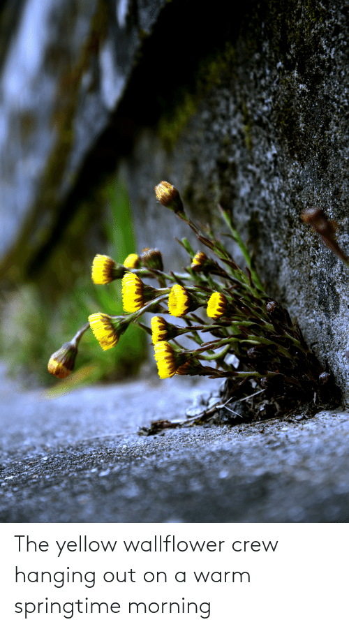 Springtime: The yellow wallflower crew hanging out on a warm springtime morning