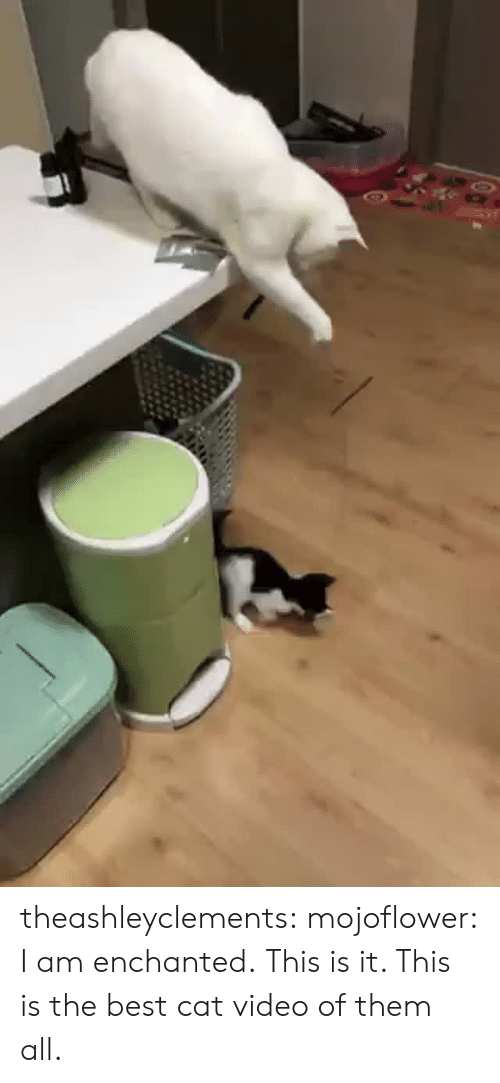 Best Cat: theashleyclements: mojoflower: I am enchanted.  This is it. This is the best cat video of them all.