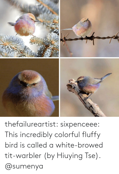 bird: thefailureartist: sixpenceee: This incredibly colorful fluffy bird is called a white-browed tit-warbler (by Hiuying Tse).  @sumenya