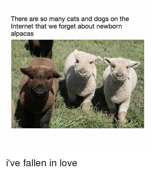 Ive Fallen: There are so many cats and dogs on the  Internet that we forget about newborn  alpacas i've fallen in love