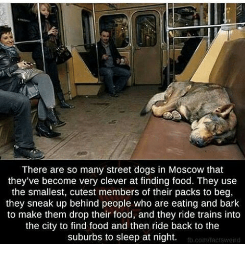 Memes, 🤖, and Moscow: There are so many street dogs in Moscow that  they've become very clever at finding food. They use  the smallest, cutest members of their packs to beg,  they sneak up behind people who are eating and bark  to make them drop their food, and they ride trains into  the city to find food and then ride back to the  suburbs to sleep at night.  fb.com/factsweird